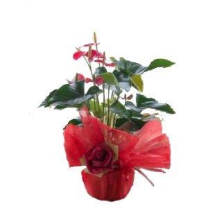 pianta di anthurium